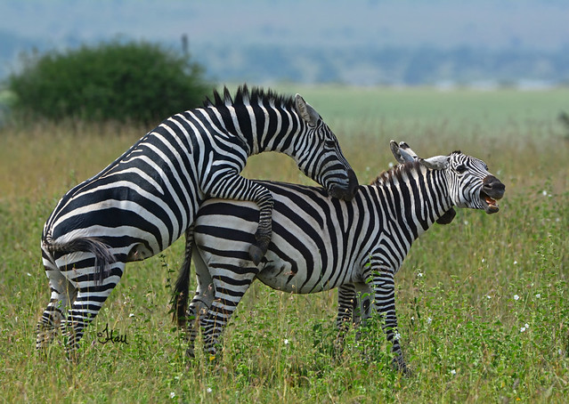 Love or War? Mating Zebras - 8897b+