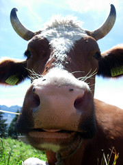 Swiss cow | by wonder_j