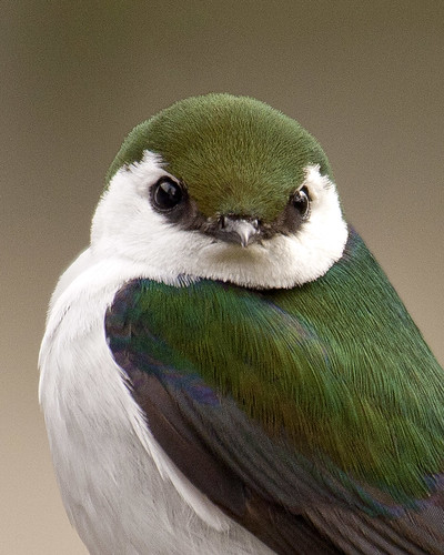 Violet green swallow | by chaines9