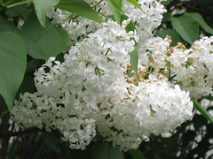 White Lilac | by pelennor