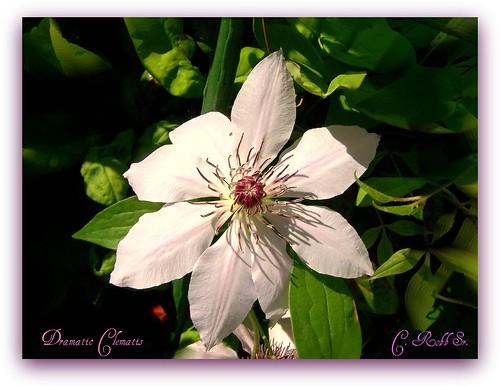 friends flower nature clematis vine picnik naturesfinest mywinners abigfave anawesomeshot ilovemypics qualitypixels