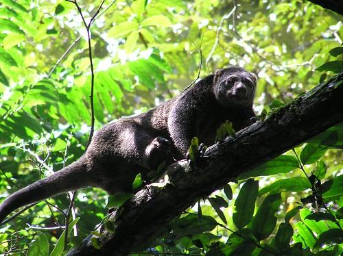"Marsupial sloth (local name ""cuscus""), Buton"