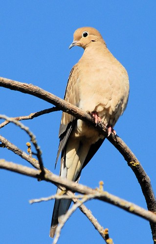 Mourning Dove | by birding4ever