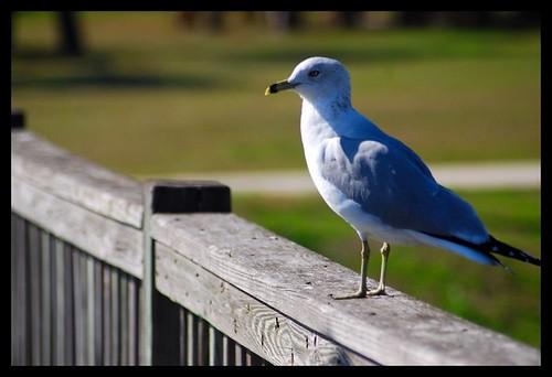 Sea Gull | by TenaciousR