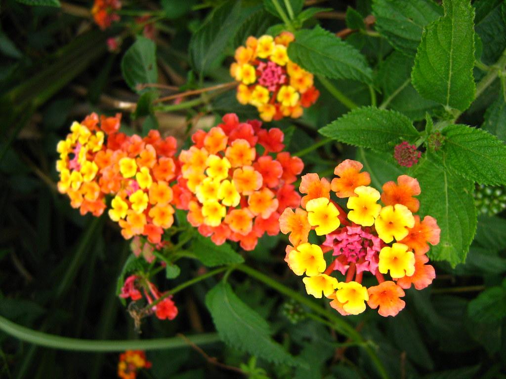 la flor del duende | Flores silvestres. wild flowers. Lantan… | Flickr