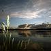 Image: Reeds