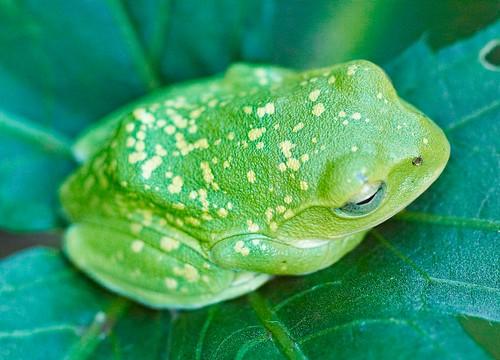 Frog on okra leaf