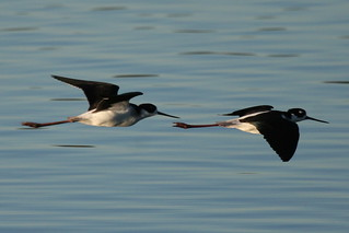 Black-necked Stilts-IMG_5171-MV Baylands-Crop | by gimlack