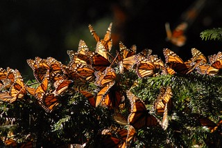 Monarch butterfly sanctuary, El Rosario, Michoacan | by StevenMiller