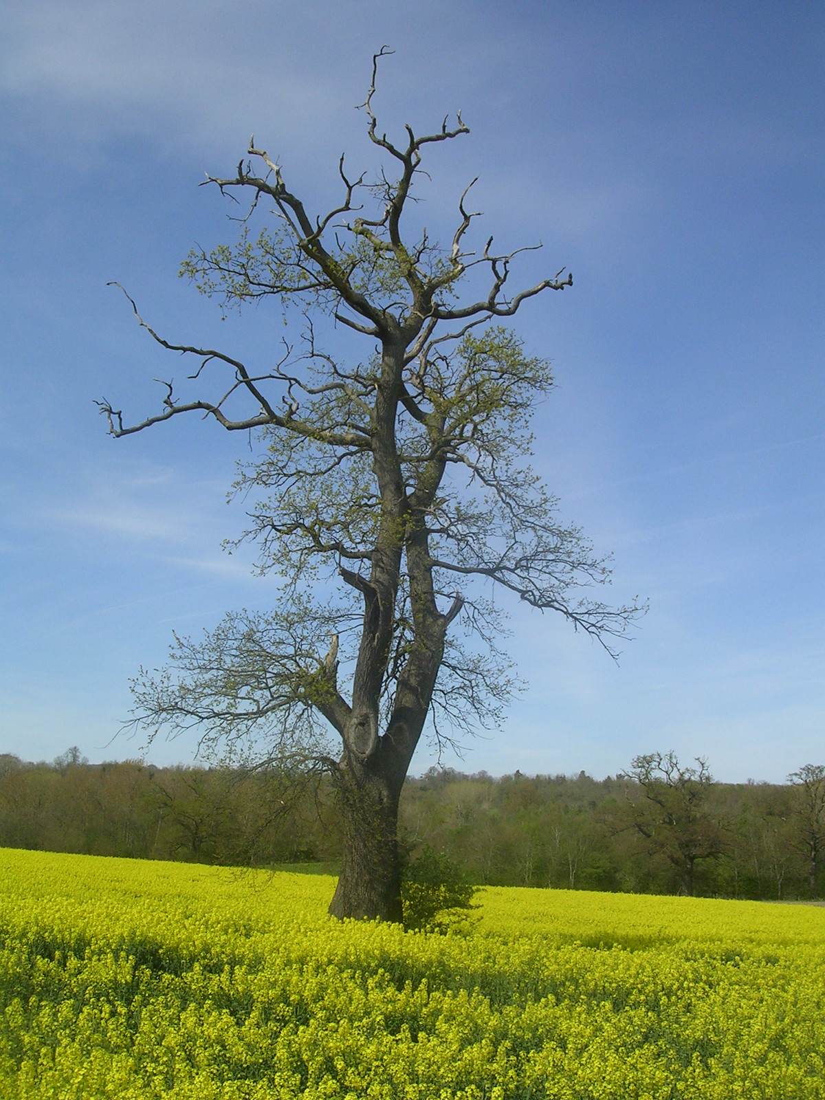 Tree in rapefield Yalding to Sevenoaks