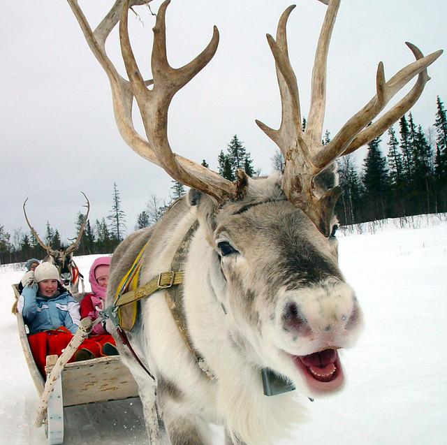 COPYRIGHT! Reindeer enjoy their work