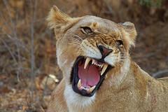 Lion roar   by Arno Meintjes Wildlife