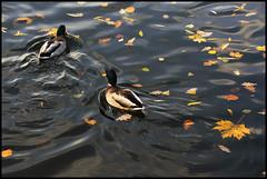 Ducks   by ˙Cаvin 〄