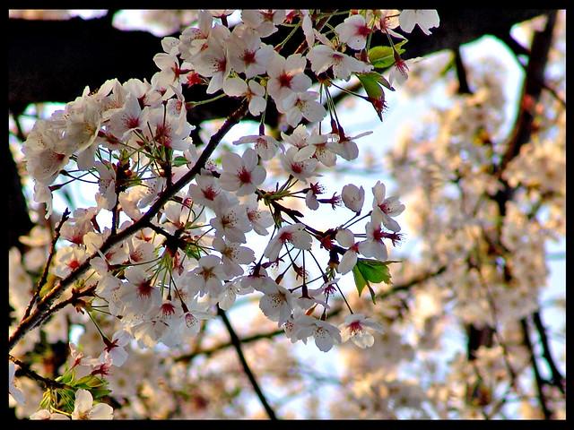 Hamarikyu's cherry flowers