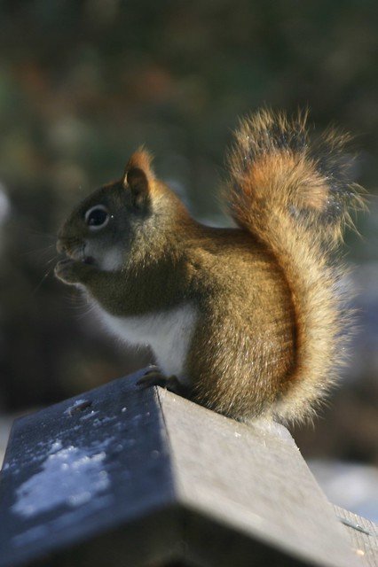 Squirrel Eating at the Birdfeeder