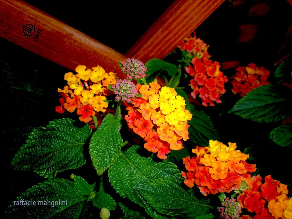 Fiori Ombra.Fiori Nell Ombra Mango Raf Flickr