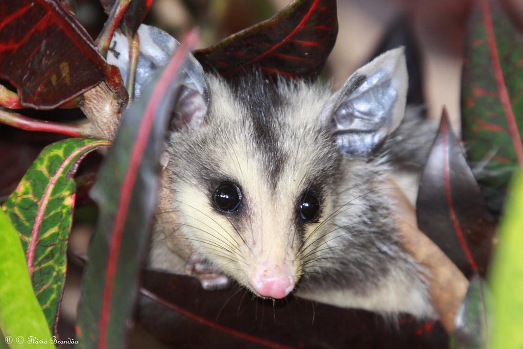 Série com um filhote de Gambá-de-orelha-branca, Saruê (Didelphis albiventris) - Series with the white-eared opossum - 13-05-2009 - IMG_9084