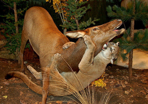 Mountain Lion attacking deer-taxidermy | by Curious Expeditions
