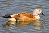 Male South African Shelduck by Duncan Forrest