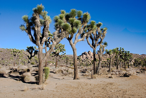 A grove of Joshua Trees | by john weiss