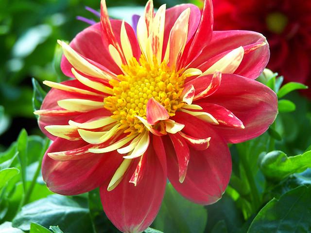 red&yellow dahlia