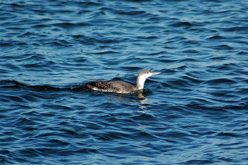 Red-throated Loon - Delta, BC | by Michael W Klotz - The Bird Blogger.com