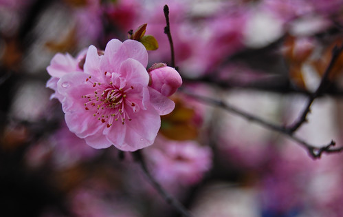 March 1st Cherry Blossoms-8 | by Orbmiser