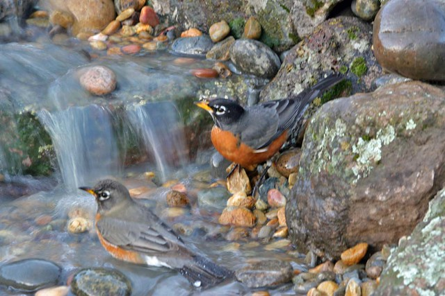 Robin invasion in the waterfall