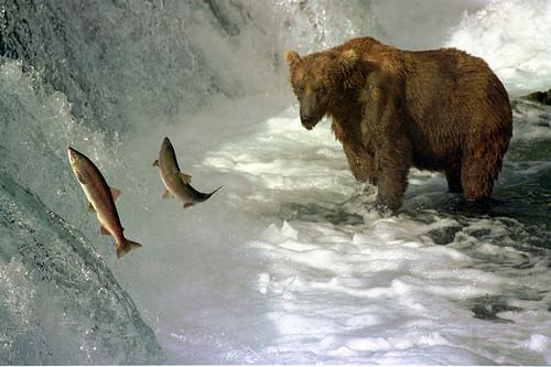 Brown bear and salmon   by Ken Bondy