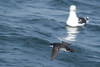 Manx Shearwater by Johnny vd Zwaag