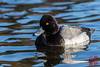 Lesser Scaup by DragonSpeed