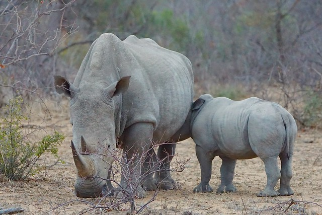 Rhino with drinking Calf