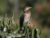 Long-tailed Cormorant Phalacrocorax coronatus by tristanba