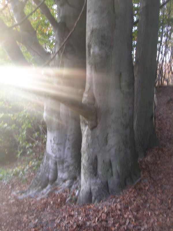 Portent If only I'd looked behind this tree. I might have been king of England by now. Sevenoaks circular