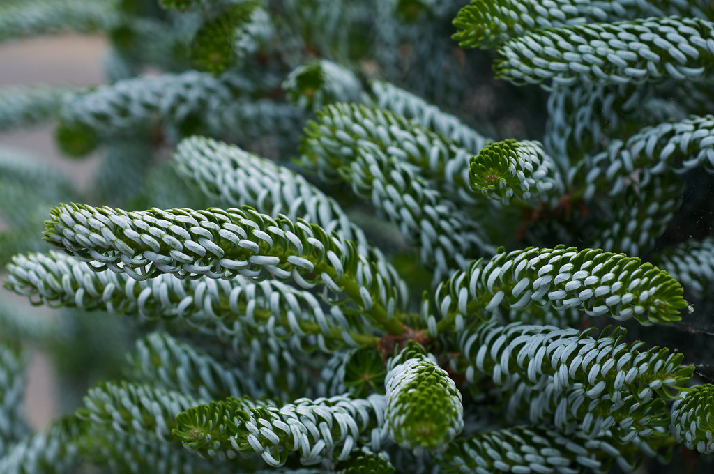 Abies Koreana Horstmanns Silberlocke Photographed At Th Flickr