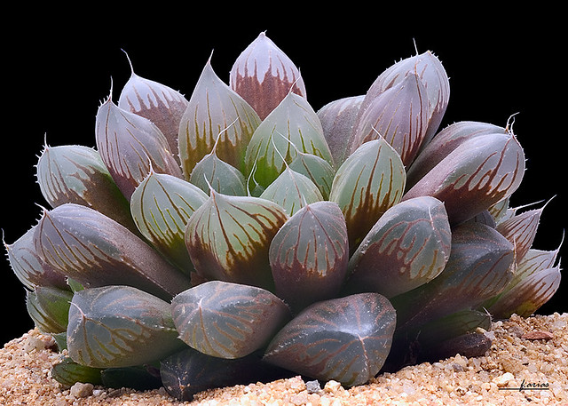 Haworthia Pilifera | Haworthia Obtusa Growth And Care Guide