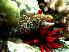 spotted moray | by shappell