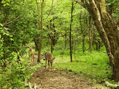 path deer triberainbow