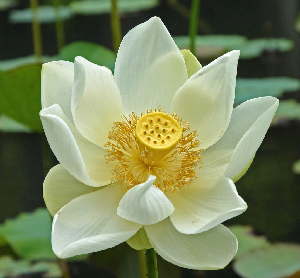 White Lotus Flower In Mauritius Wwwbildervonuntende If A Flickr