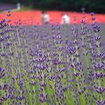 Summer Lavender, I LOVE U (Hokkaido)