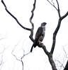 Bat Hawk by spOt_ON
