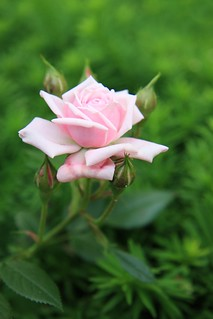 Rose 3 | by maxmaria