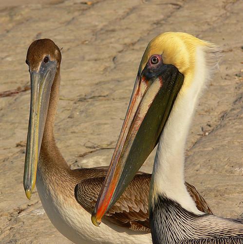 pelicans florida naturesfinest featheryfriday specanimal specanimalphotooftheday avianexcellence