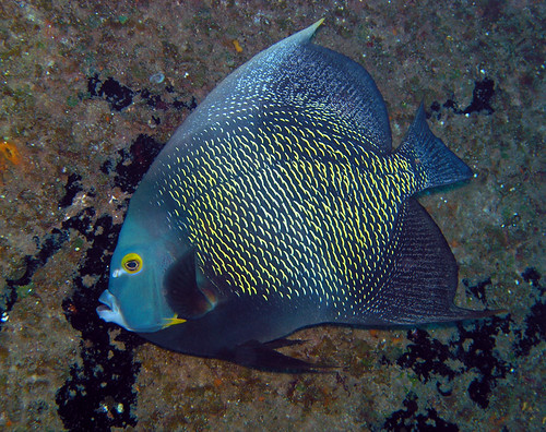 French angelfish (Roatan, Honduras) | by alfonsator