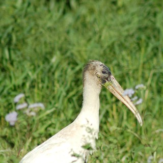 Wood Stork | by A. Drauglis