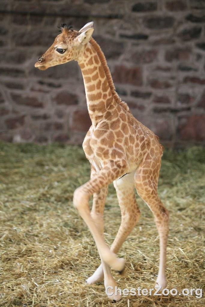 Margaret the baby Giraffe