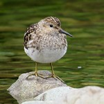 Least Sandpiper (Calidris minutilla), Harris River, Prince of Wales Island,  near Hollis, Alaska
