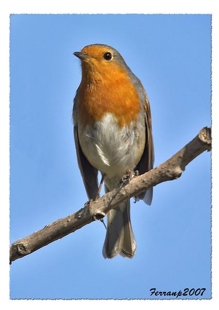 petirrojo 03 - pit-roig - robin - Erithacus rubecula