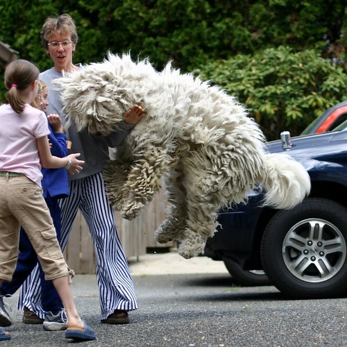 dog geotagged fun scary jump jumping hungary sheepdog guard surprise blizzard leap animalplanet leaping hungarian komondor mudpig stevekelley