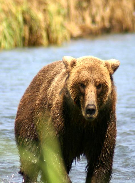 alaska - grizzly